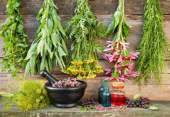 лечебные растения от варикоза