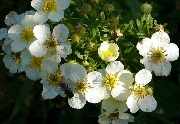 Растение лапчатка белая